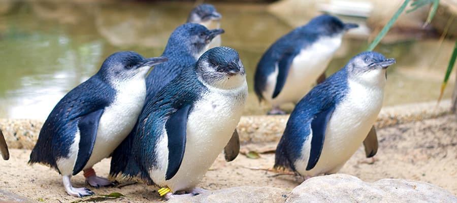 Pingüinos en cruceros a Akaroa