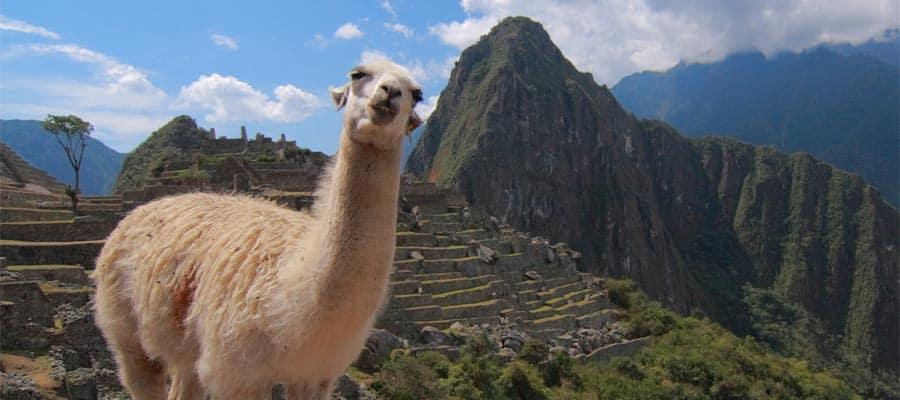 Alpaca en el Machu Picchu en un crucero a Arica