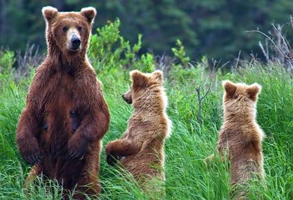 osos de alaska