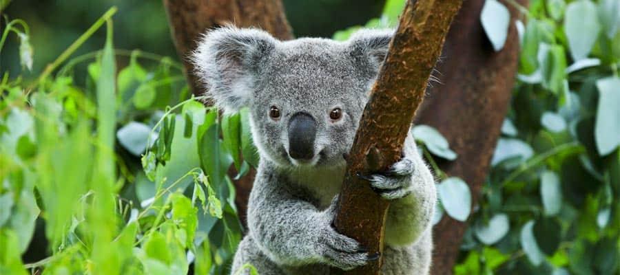 Koala en un crucero en Australia