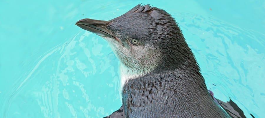 Pingüino pequeño nadando en cruceros a Burnie
