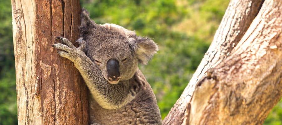 Koalas en la selva en un crucero a Cairns