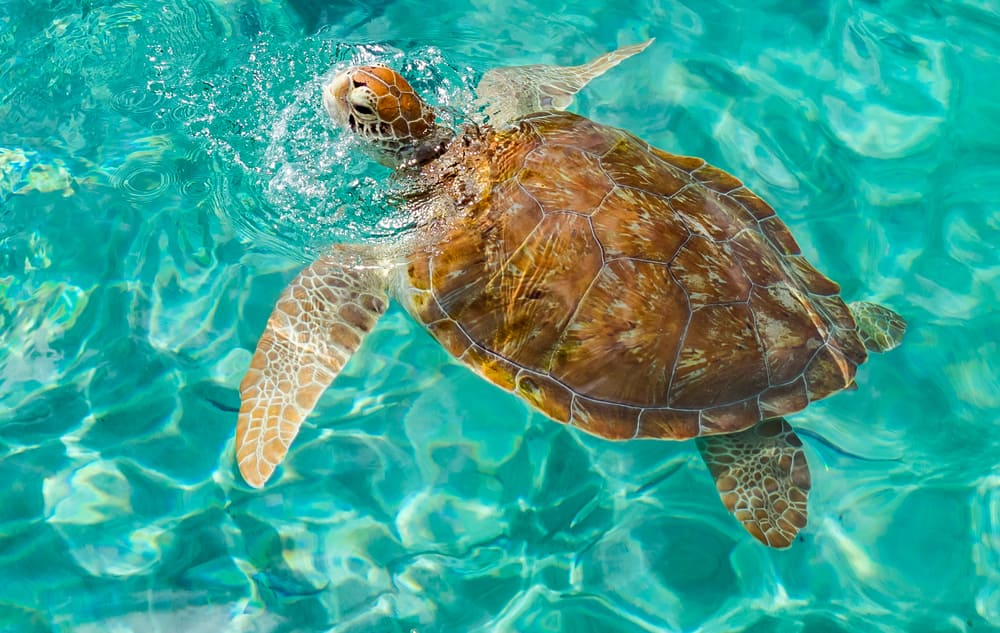Sea Turtle in Curacao