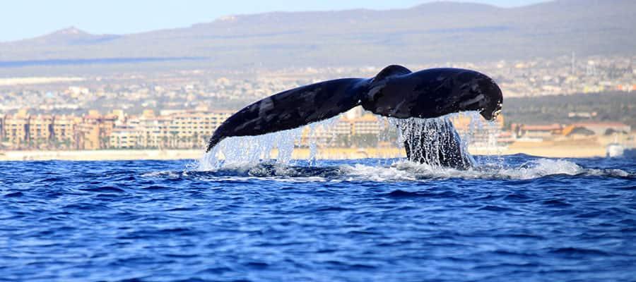 Avistamiento de ballenas en tu crucero por la Riviera Mexicana
