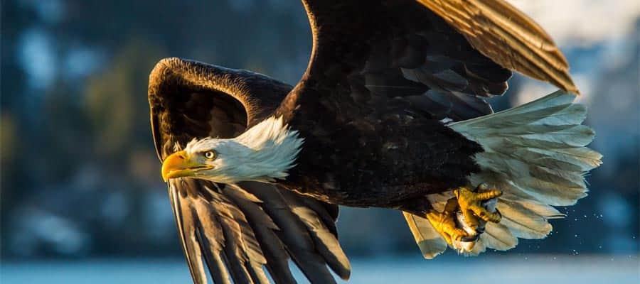 Águila calva en un crucero a Alaska