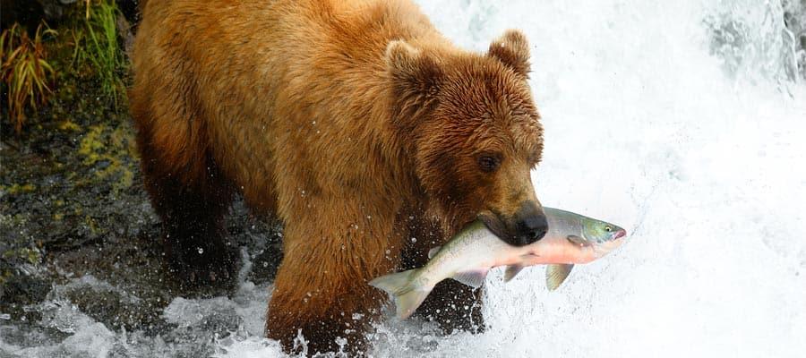 Oso pardo de Alaska en un crucero a Alaska