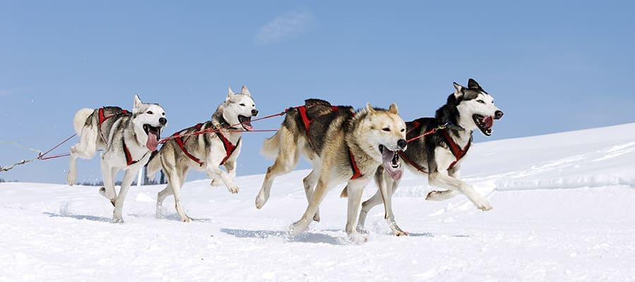Conoce a los perros de trineos de Alaska en un crucero de Norwegian