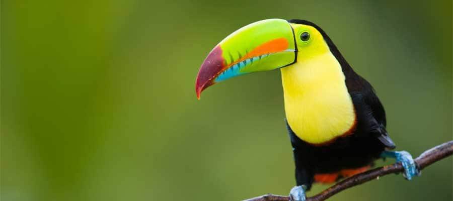 Tucán colorido en Puerto Limón