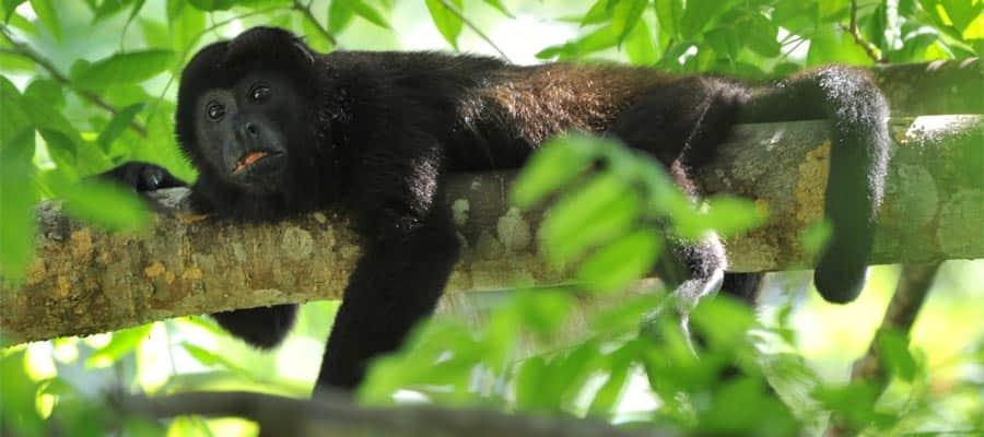 Mono aullador en tu crucero a Puerto Limón