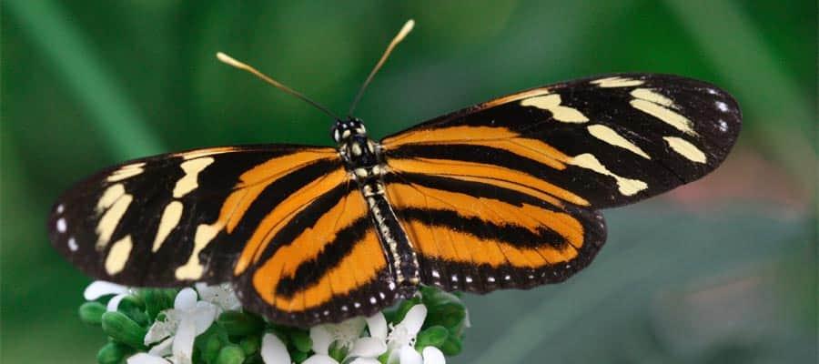 Busca mariposas en tu crucero por el Canal de Panamá