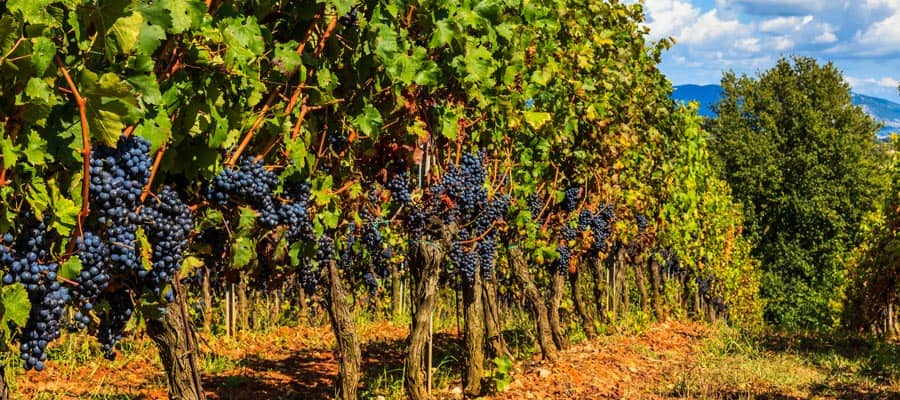 Pasea por los viñedos de la Toscana durante tu crucero por Europa