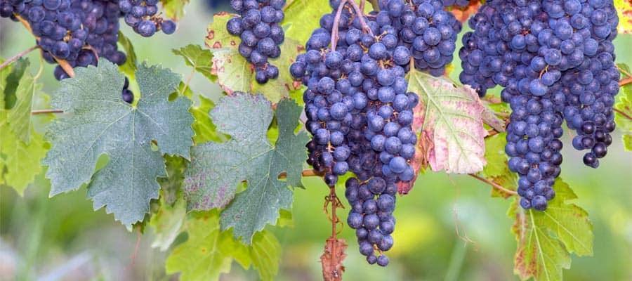 Uvas frescas en Burdeos en tu crucero por Europa