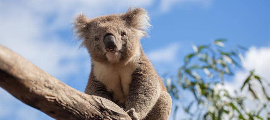 Koala descansando en una rama en un crucero a Melbourne
