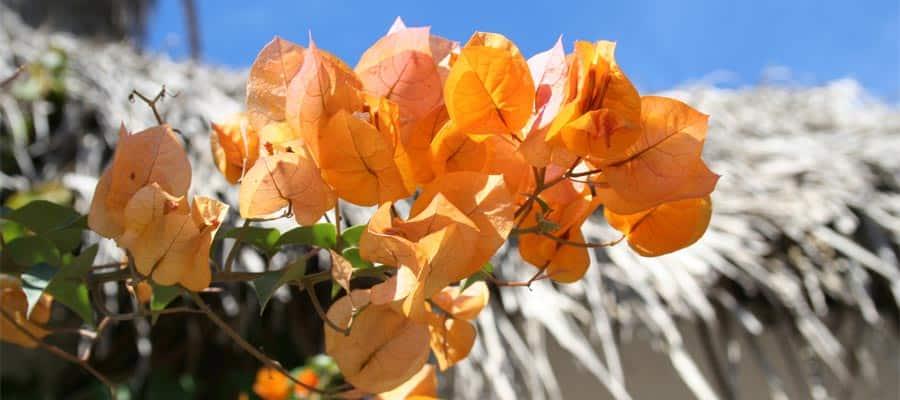 Flores anaranjadas en tu crucero a Mazatlán