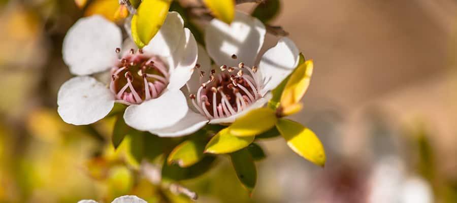 Flor del árbol del té en un crucero a Napier