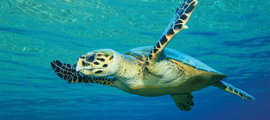 Nada junto a las especias de la fauna marina en nuestros cruceros por las Bermudas