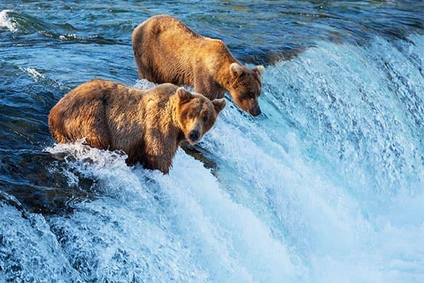 Descubre la fauna silvestre de Alaska - Avistamiento de osos