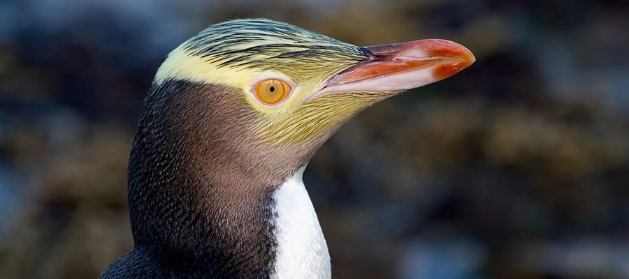 Pingüino de ojos amarillos en cruceros a Dunedin