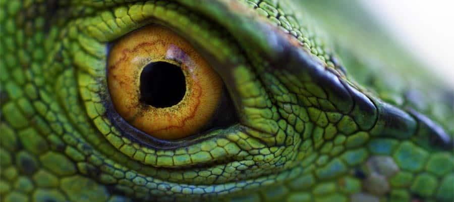 Ojo de basilisco verde