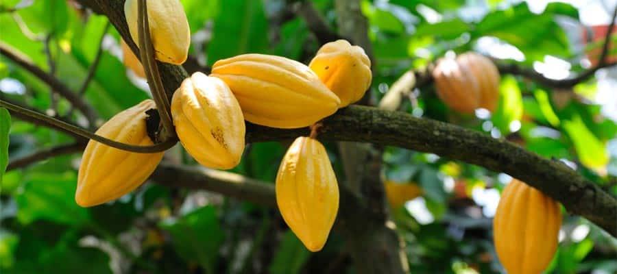 Vainas de cacao en un crucero por el Canal de Panamá