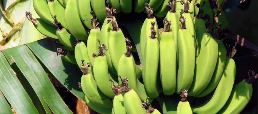 Bananero en Chipre en Puerto Chiapas