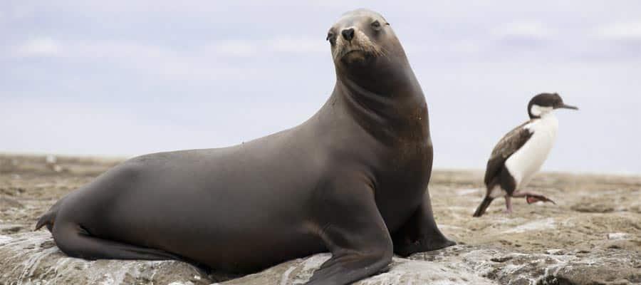 Hembra de león marino sudamericano