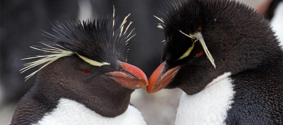 Pingüinos en las Islas Falkland (Malvinas)