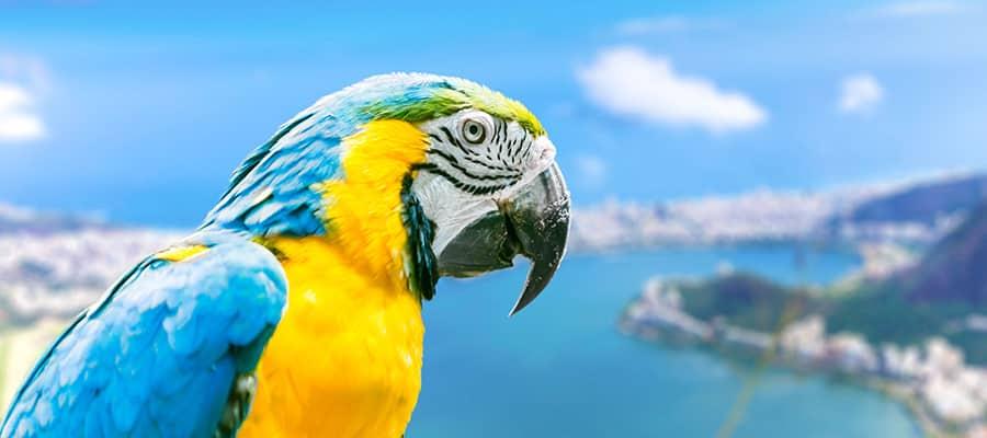 Guacamayo azul y amarillo en un crucero a Río de Janeiro