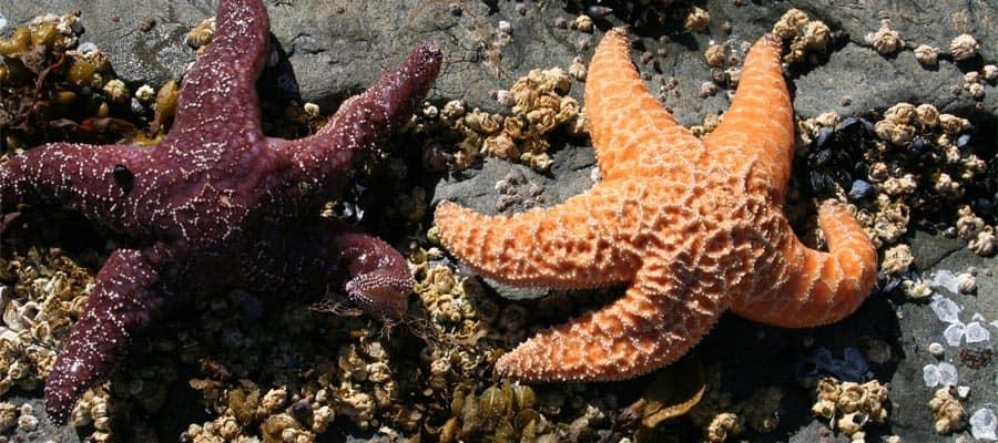Estrella de mar en Sitka