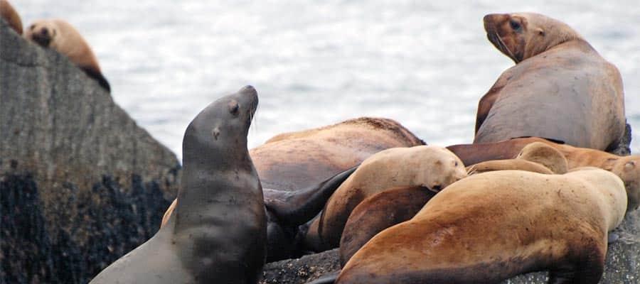 Visita a los leones marinos en la costa durante tu crucero por Alaska
