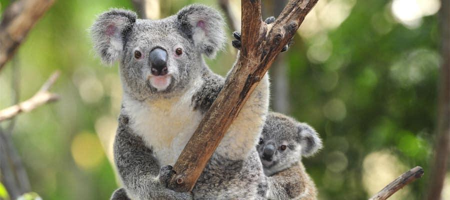 Koalas en Sídney
