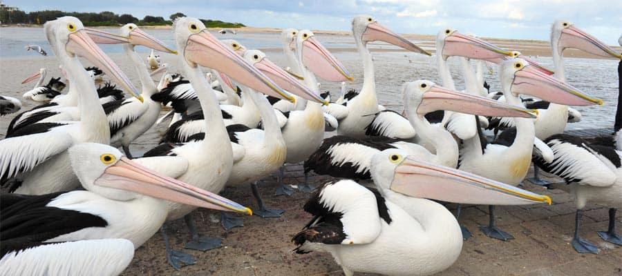 Pelícanos australianos en un crucero a Sídney