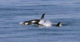 Exploración de la vida silvestre marina y las orcas