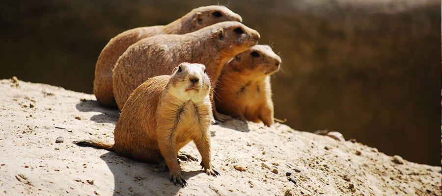 Marmotas de las praderas en un crucero a Wellington